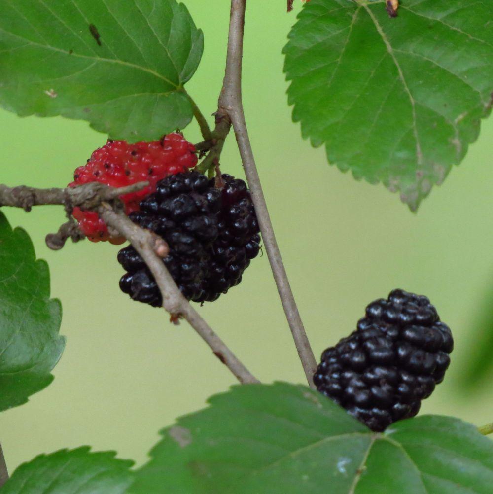 mulberries. 2jpg