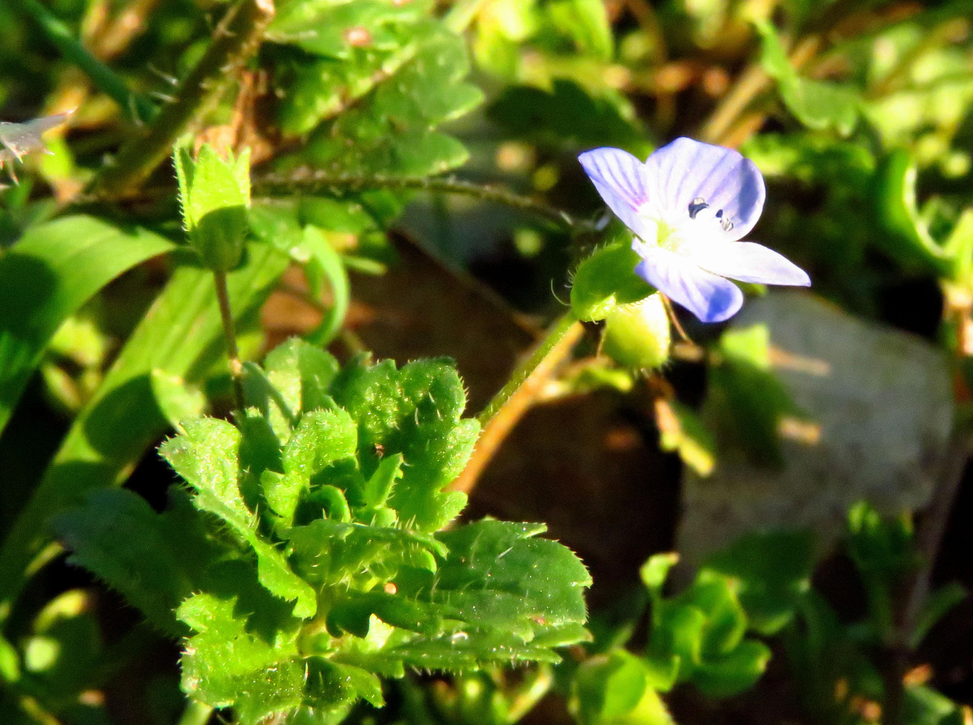 blue weed 1