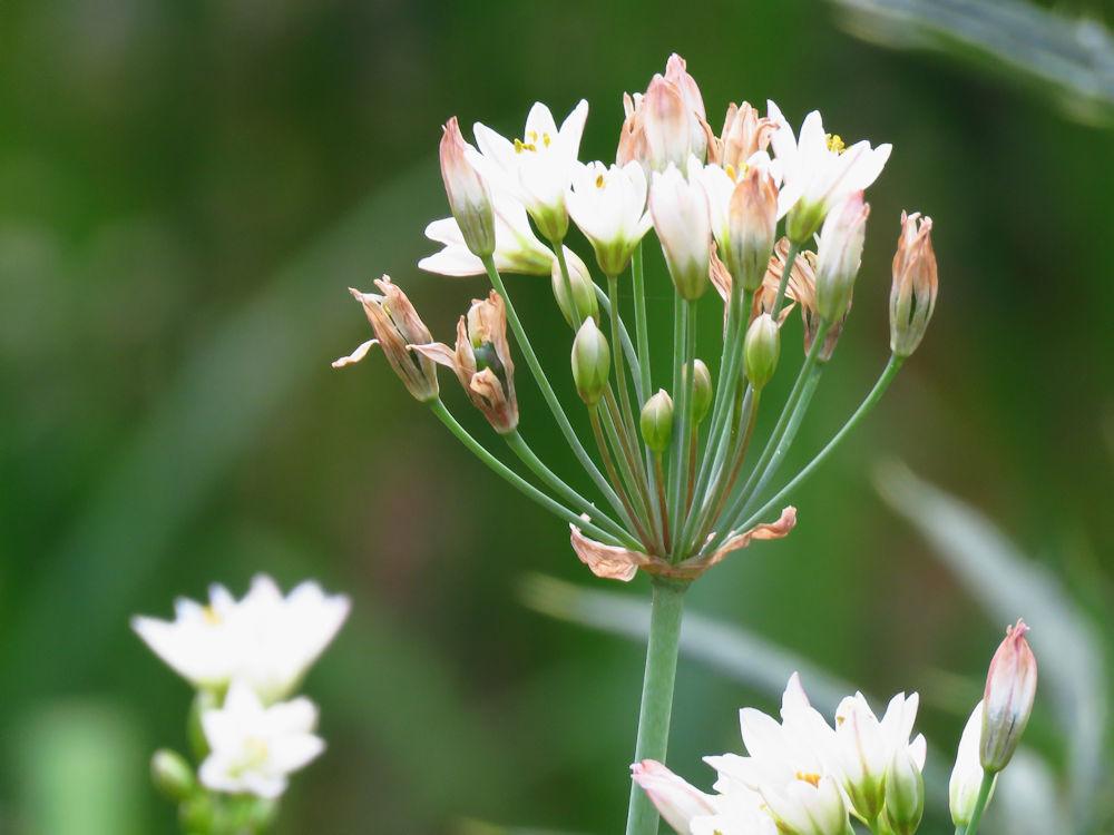 r allium flower