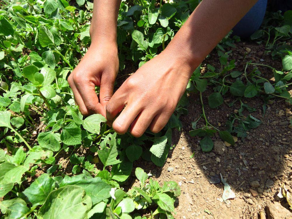 r picking imbuya - amaranthus
