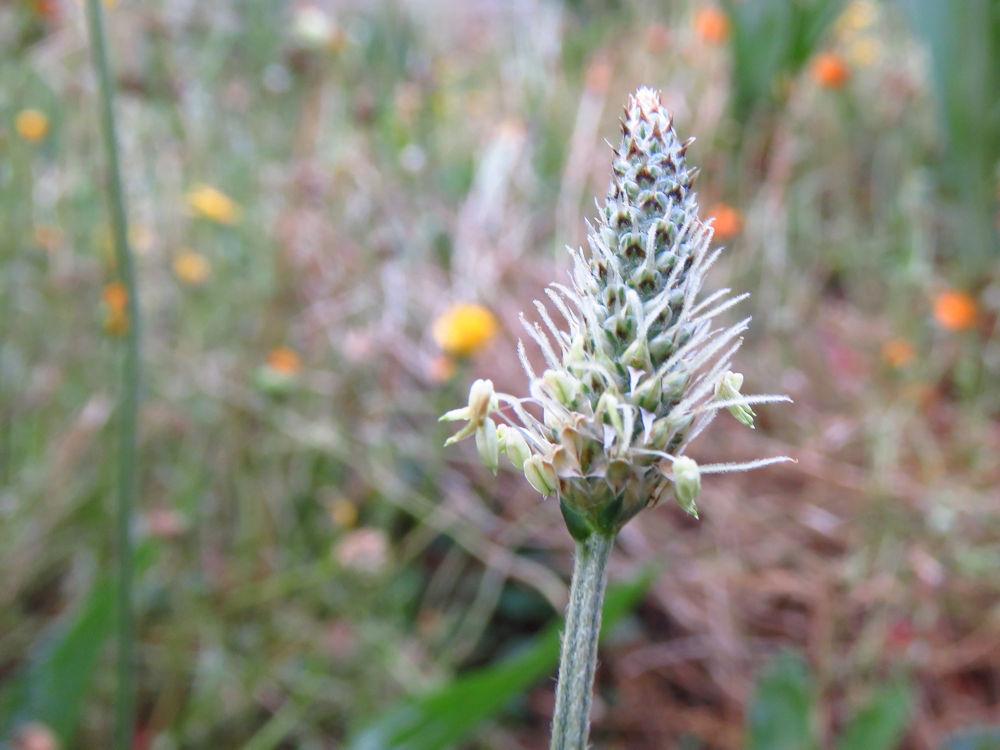 r ribwort flower