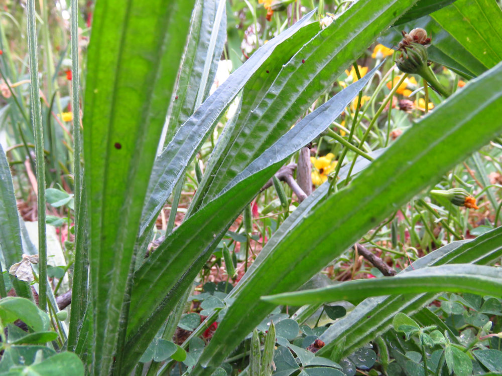 r ribwort leaves